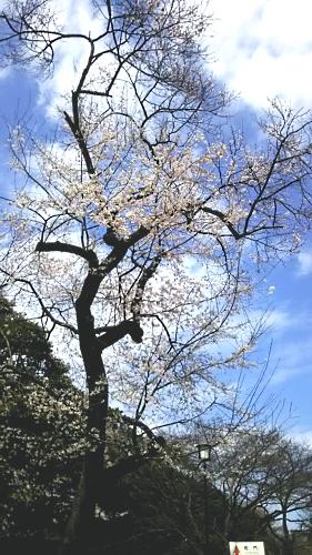 #2633sakura201511.jpg