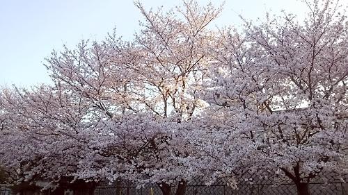 2799#201604sakura.jpg