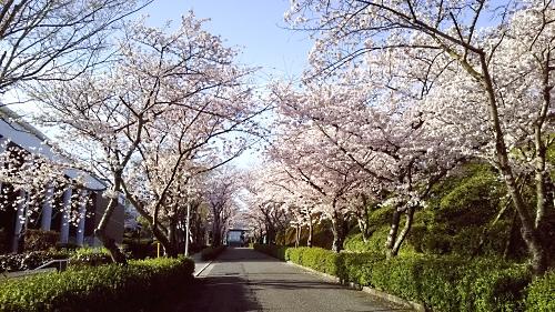 2814#201604sakura.jpg